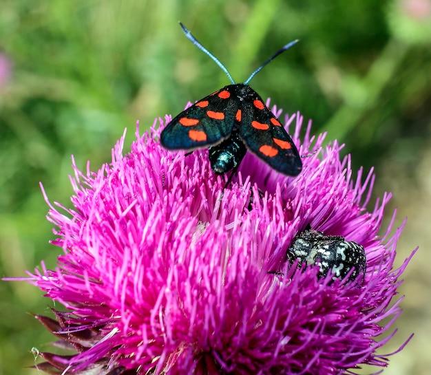 보라색 꽃에 붉은 반점이 있는 zygaena ephialtes.