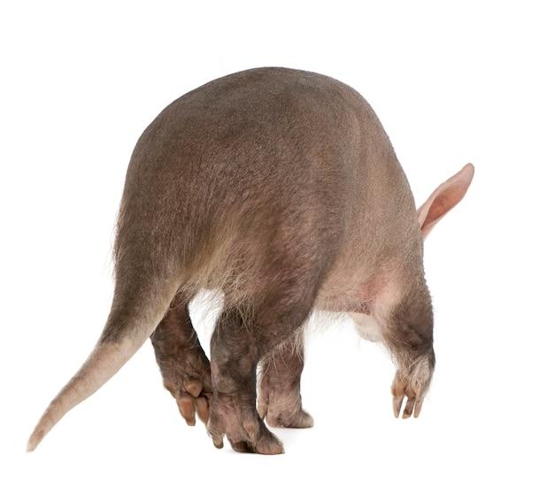 Aardvark, orycteropus on a white isolated