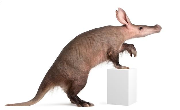 Aardvark, orycteropus on white isolated