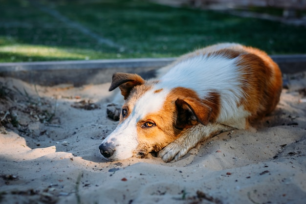 Abandoned homeless dog lies on the sand