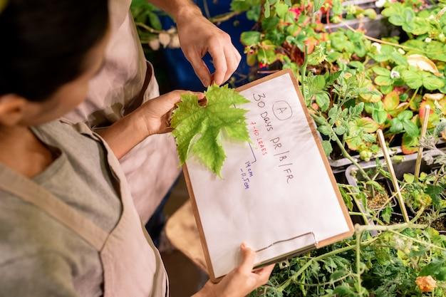 메이플 리프를 종이에 넣고 식물 보육원에서 크기를 검사하는 앞치마에있는 여성의 위보기
