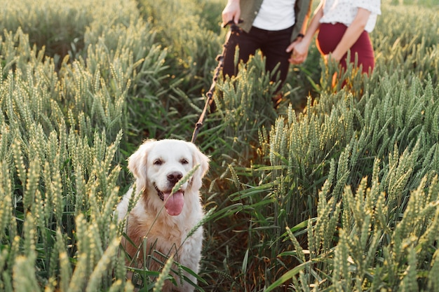 Absolutely happy dog walks in evening with his owners in fields. pregnant woman . family and pregnancy. love and tenderness. happiness and serenity. taking care of a new life. nature and health.