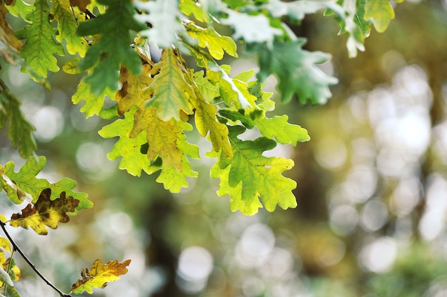 Abstract background of autumn oak leaves