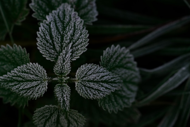 Abstract background of green nettle leaves with frost