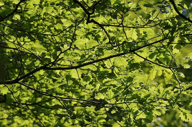 Abstract background of green oak branches and leaves