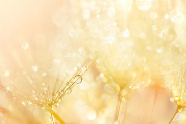 Абстрактный фон из одуванчика с блестящими каплями. естественный фон, макросъемка.