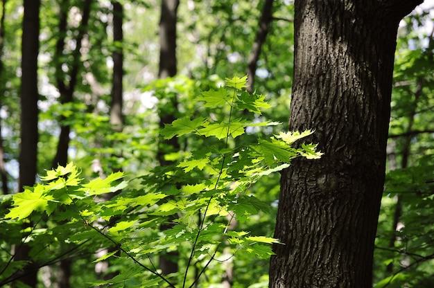 緑のカエデの枝と葉の抽象的な背景