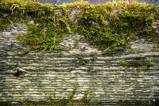 Abstract background of old wood with moss