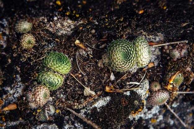추상적 인 배경, 아름다운 다채로운 이끼와 이끼로 덮인 거친 회색 돌. 바위에 있는 식물, 클로즈업, 선택적 초점. 디자인을 위한 자연스러운 질감.