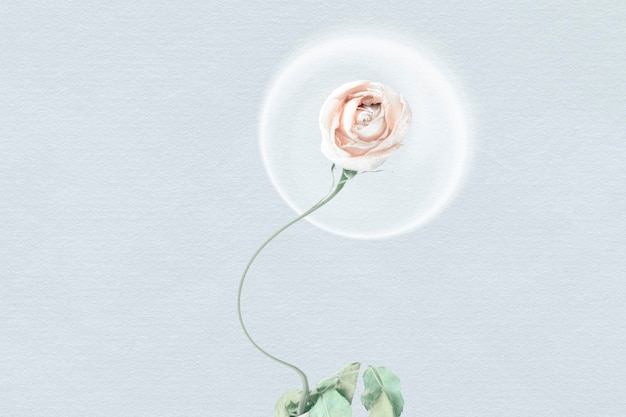 Abstract background wallpaper, white rose flower