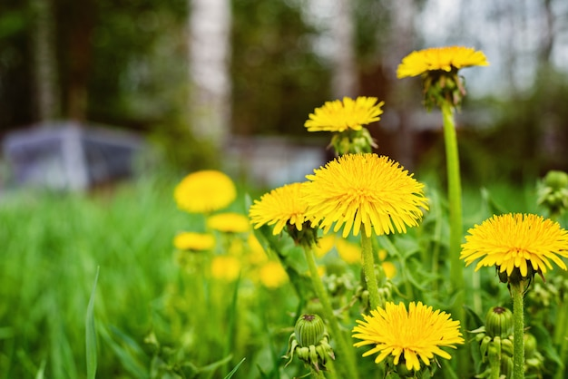 Abstract background with green grass and yellow dandelion flowers or tussilago farfara