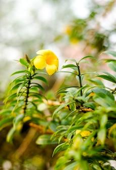 黄色の花のぼかしを抽象化し、庭でblackgroundをぼかし