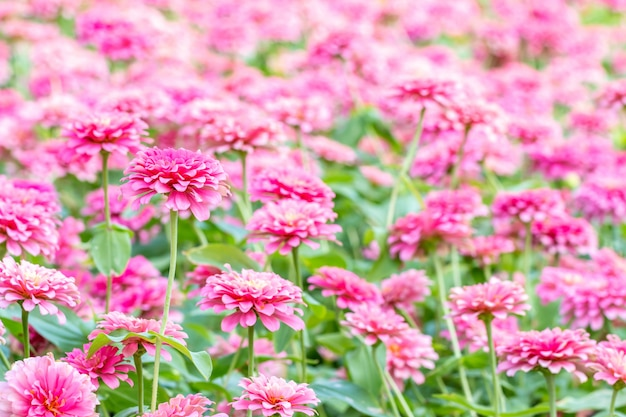 Abstract blurred of pink flowers, zinnia violacea cav.