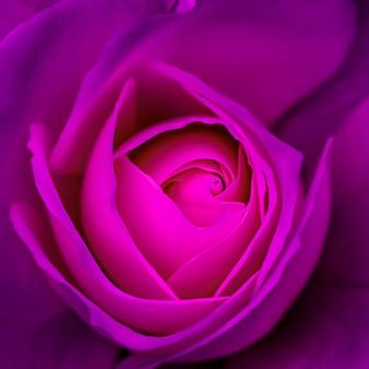 抽象的な花の背景紫のバラの花びらマクロ花の背景ホリデーデザインソフト
