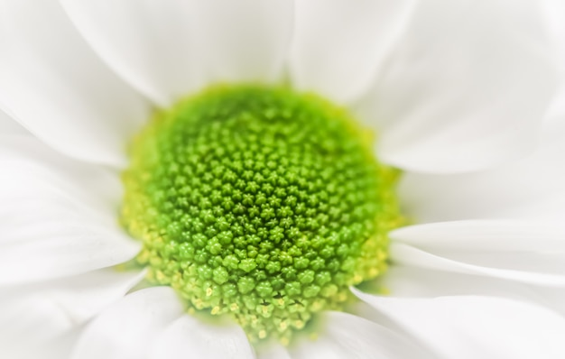 추상 꽃 배경 흰색 국화 꽃잎 매크로 꽃 배경 휴일
