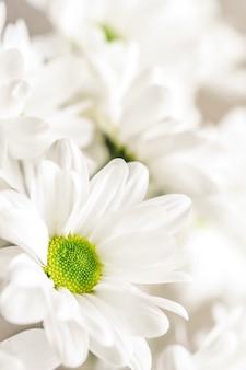 Абстрактный цветочный фон белые лепестки цветов хризантемы макро цветы фон
