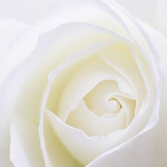 Абстрактный цветочный фон белые лепестки цветов розы макро цветы фон для праздника дизайн мягкий