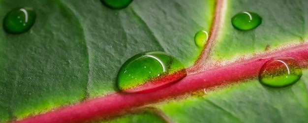 自然な背景の水滴と抽象的な緑の背景マクロクロトン植物の葉