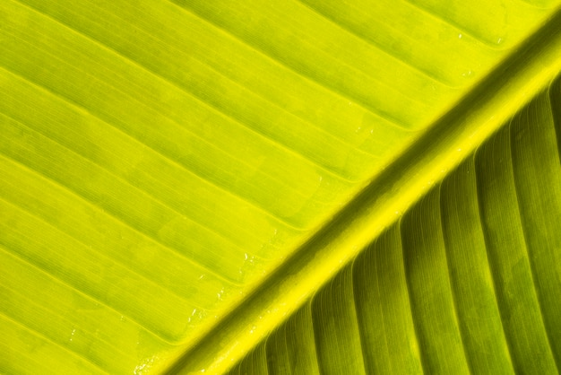 Abstract green banana natural leaf