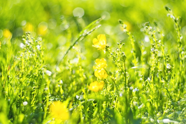 Abstract green fresh grass and wild small yellow flowers field with abstract blurred foliage and bright summer sunlight