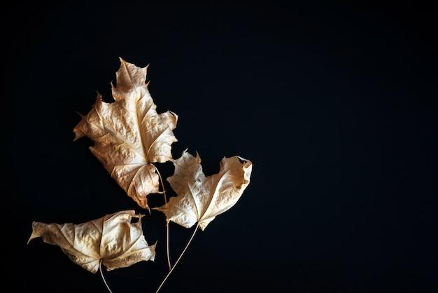 黒の背景に抽象的なイメージドライカエデの葉。コピースペースと黒に分離された紅葉を乾燥させます。標本、創造性、壁紙。