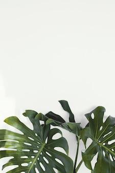 Абстрактные минимальные листья растения монстера