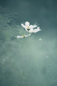 Abstract pastel white flowers cosmos
