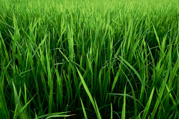 Abstract textures and pattern of green rice fields as background.