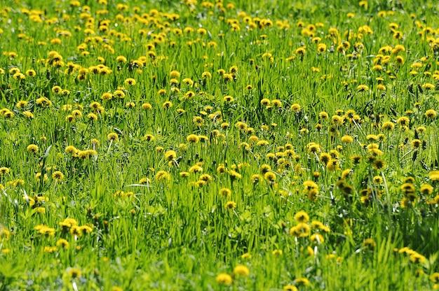 Abstract yellow dandelion background - green dandelion field