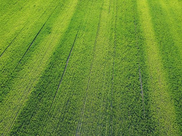 Фон абстракции с зеленой пшеницей на поле