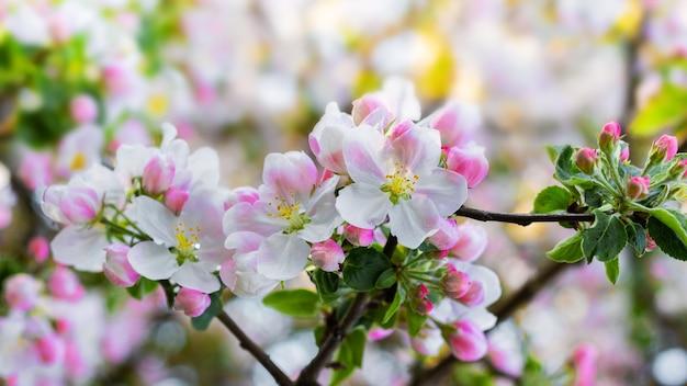 豊富なリンゴの花。木の上のリンゴの木の花