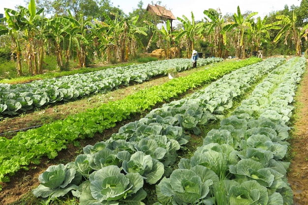 The abundant organic vegetable farm and there is a gardener working in the farm