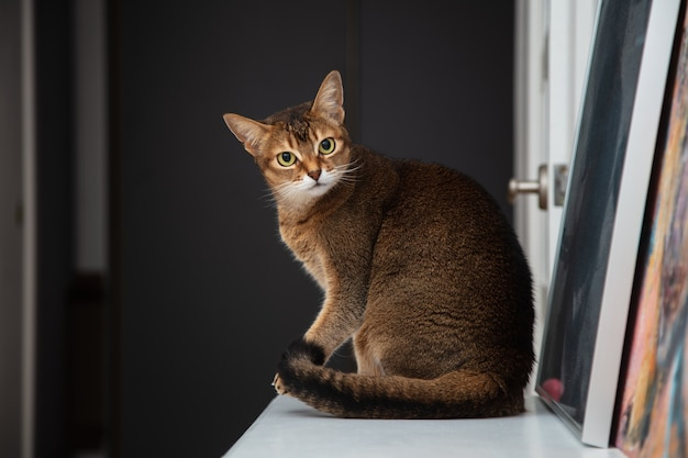 Abyssinian adult cat sitting on the chest of drawers in the apartment. pet is beautiful and playful