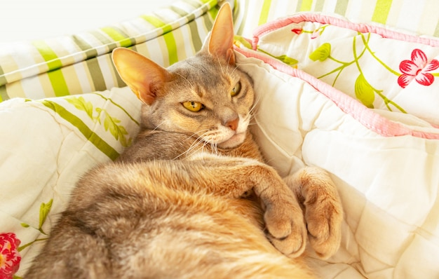 Abyssinian cat. close up portrait blue abyssinian female cat lying on colorful blanket, daylight. pretty lazy cat white