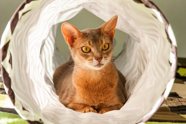 Abyssinian cat. close up portrait of blue abyssinian female cat, sitting