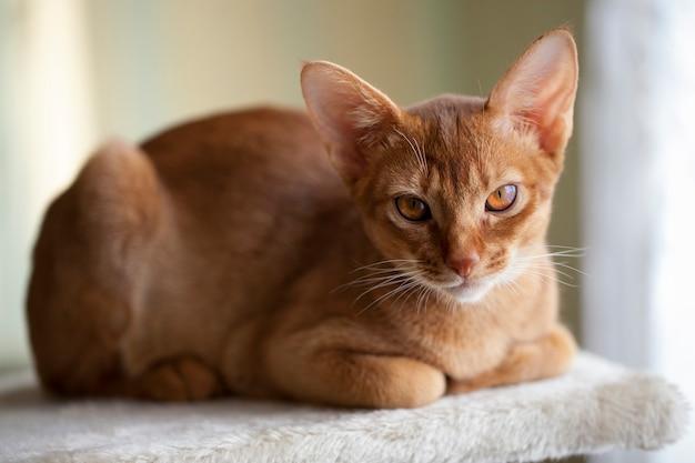 Абиссинская кошка крупным планом