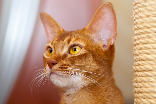 Abyssinian cat - the head of an abyssinian cat photographed by a close up