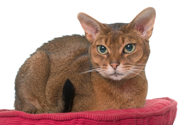 Abyssinian cat isolated