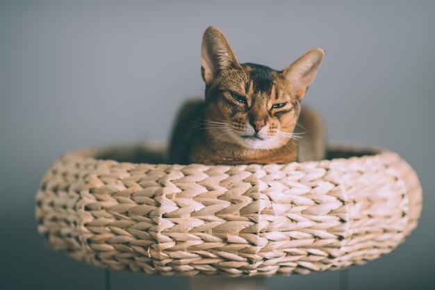 짚 바구니에 누워 아비시 니 아 고양이입니다.