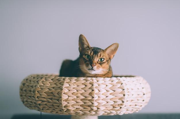Abyssinian cat lying in straw basket