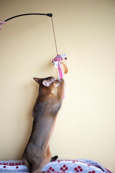Abyssinian cat playing with a toy