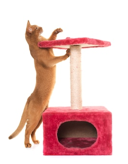 Abyssinian cat and scratching post