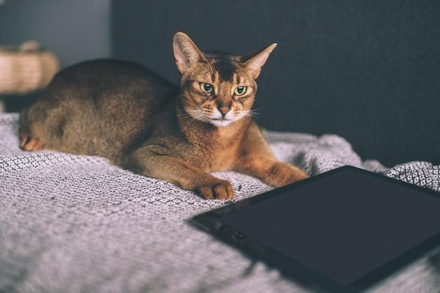 아비시 니 아 고양이 침대에 태블릿 화면을보고.