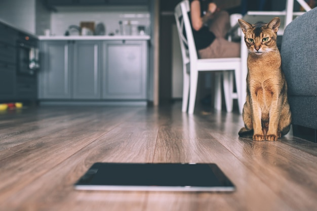 Abyssinian cat watching at tablet screen.