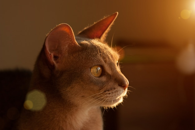 Abyssinian cat at window. close up portrait of blue abyssinian female cat, sitting on chair headrest.