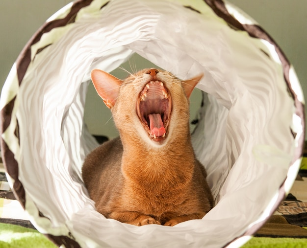 Abyssinian cat yawns. close up portrait of blue abyssinian female cat, sitting