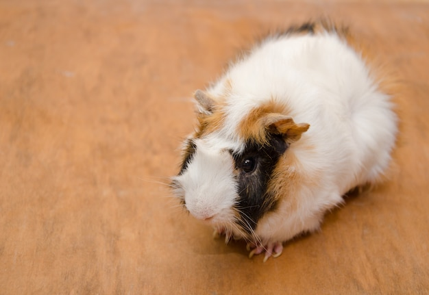 Abyssinian guinea pig on a wooden
