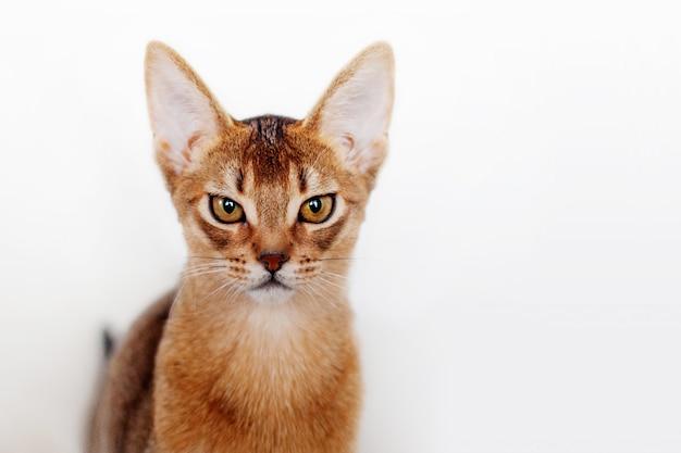 Абиссинский котенок чем-то недоволен. портрет крупным планом