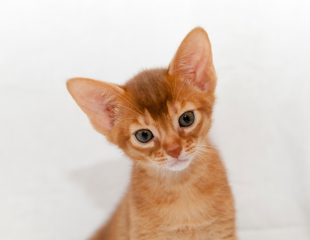 Abyssinian kitten sitting during rest, close-up of a detail of a pet