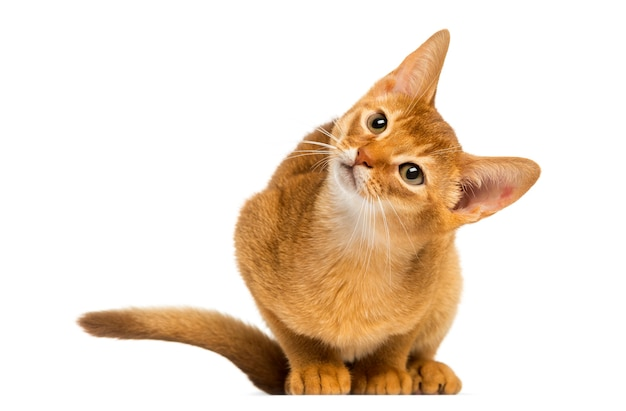 Abyssinian 고양이 앉아 흰색 절연 호기심으로 올려